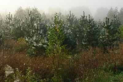 Белая осень туман сосны паутина осень