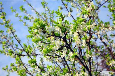 Ближе к солнцу весна яблоня цветы небо солнце