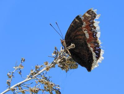 В последний полет бабочка Калифорния