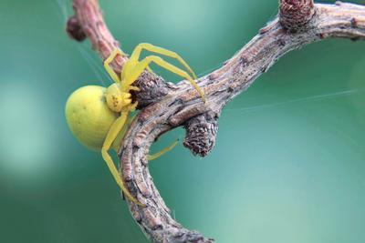 Капкан паук бокоход веточка желток