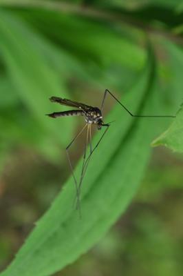 балет комар природа