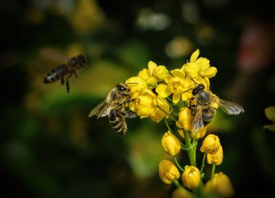 *** цветы лето май пчела пчелы насекомые жара макро