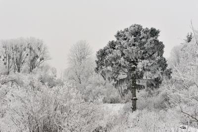 Сосна сосна зима