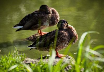 duck tales птица птицы утка утки вода пруд