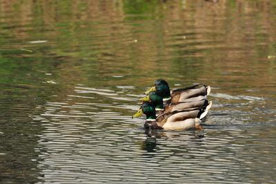 Птица-Тройка утка птицы пруд лето