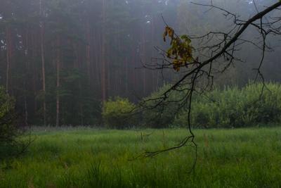 Туманное утро в лесу лес туман деревья сосны ветка август