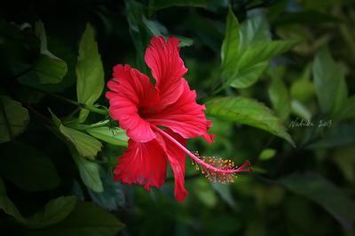 суданская роза суданская роза гибискус