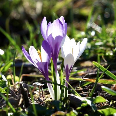 ***Весна… Куршевель цветы весна прогулка