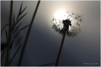 Кусочек лета Лето одуванчик закат солнце