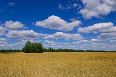 Русская пшеничка пшеница нива поле небо
