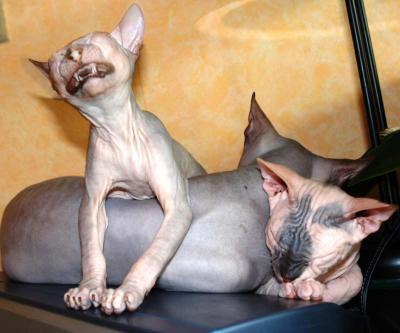 Чиииииз донские  сфинксы, голые кошки, улыбка, инопланетяне, ню