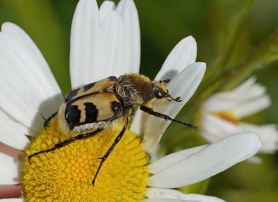 Восковик перевязанный (Trichius fasciatus).