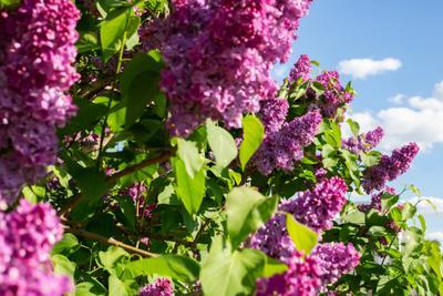 Сирень сирень май москва небо цветы