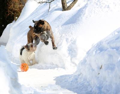 Весенние игры. боксер бивер собаки