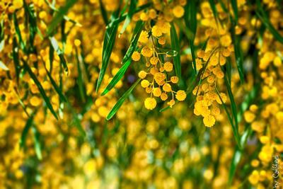 Весна Мимоза весна цветы цветение желтый Portugal CatSteel Alona Petrychenko Алена Петриченко