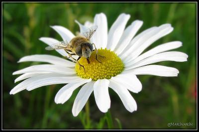 Лето ромашка лето мушка