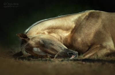 Сладких снов! лошадь ахалтекинец