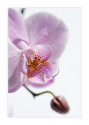 *** цветок фаленопсис орхидея