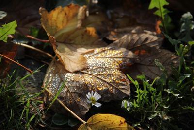*** листва осень роса ромашка