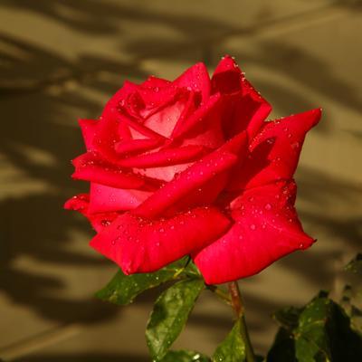 роза 2020 (6)