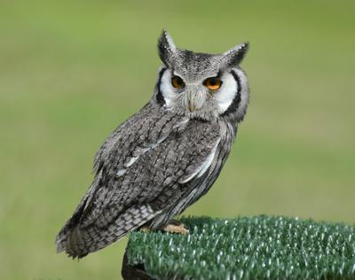 Миниатюрный сычик Уипснейд зоопарки Англии птицы сыч-эльф