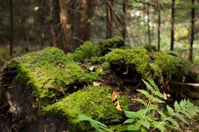 пень с грибами в лесу (stump with mushrooms in forest) пень грибы лес stump mushrooms forest