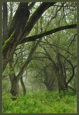 Зачарованный лес Утро, ивы, туман