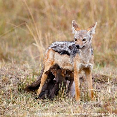 Jackal Family африка кения дикие животные мастеркласс фотосафари