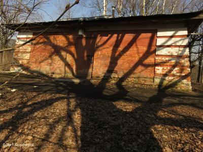 Дуб тень дуба красивая на стене