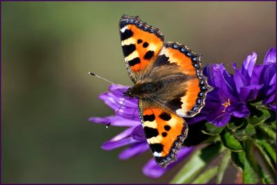 *** цветы бабочки