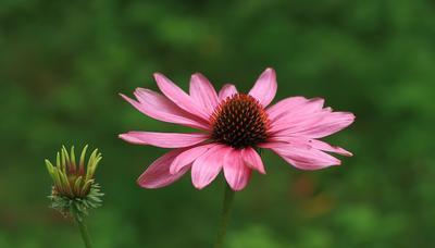 Эхиноцея цветы