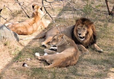 лев с подругами  на отдыхе лев с подругами на отдыхе