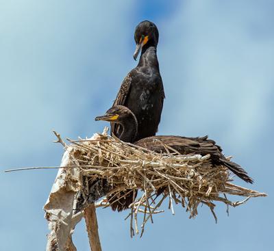 В ожидании потомства Ушастые бакланы гнезо птицы