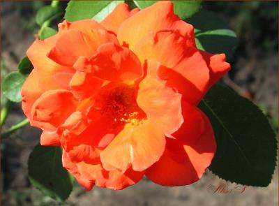 ***Роза Роза цветы