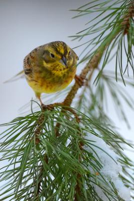 Овсянки Птицы