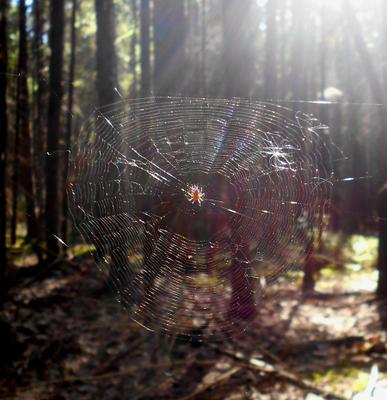 ловец солнца лес лето паутина
