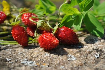 Лето ягоды