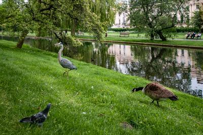 Канадский гусь - хозяин парка... (2) Лондон Риджентс-Парк