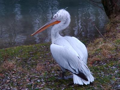 Пеликан Пеликан