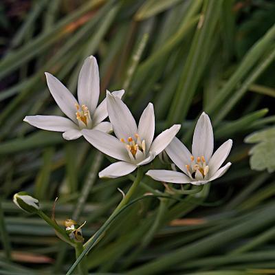 Три сестры цветы птицемлечник