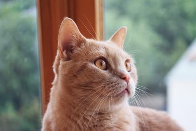 Внимательный Британские кошки кот домашние животные