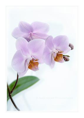 *** орхидея фаленопсис