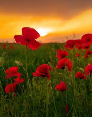 Живое пламя цветов Цветы цветок мак маки Ставрополье флора цветущее весна лето закат на фоне красный оранжевый