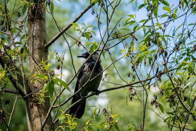 *** ворона природа птица