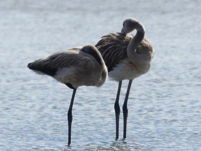 Молодые фламинго.