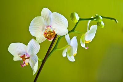 Орхидея орхидея, цветок