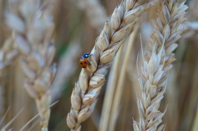 Колос пшеница божья коровка поле пирода