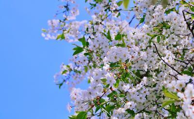 Весна Вишня весна цветение