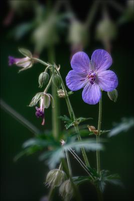 Дикая герань. лето цветы макро