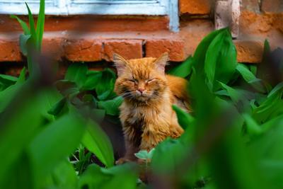 рыжий дворянин кот